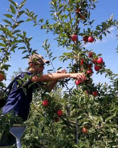Nonnewaug senior Tyler Leonard picks apples at an orchard lonesomely to make it a safe environment for others. Leonard